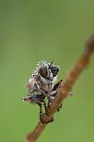 Raubfliegen Portrait