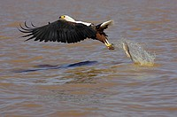 AFRICAN FISH-EAGLE haliaeetus vocifer, ADULT IN FLIGHT LOOSING FISH, BARINGO LAKE IN KENYA