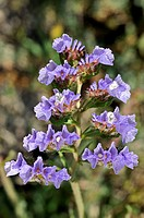 Wild flowers of Greece during springtime, winged sea lavender, limonium sinuatum