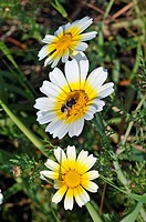 Wild flowers of Greece during springtime, daisies, chrysanthemum coronarium, glebionis coronaria, crown daisy