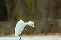 Cattle Egret - Bulbulcus ibis, Crete