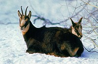 CHAMOIS rupicapra rupicapra, MOTHER WITH YOUNG