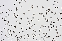 Croatia, Aljmas, View of migrating birds
