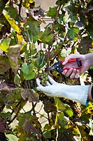 Croatia, Baranja, Young woman cutting grapes with secateurs