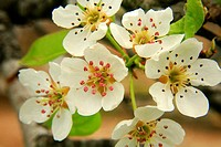 Flowers of pear Pyrus communis in the Alto Palancia. Castellón. Spain.