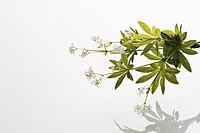 Woodruff against white background, close_up