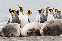 South Atlantic Ocean, United Kingdom, British Overseas Territories, South Georgia, Southern elephant seal with king penguins colony in background