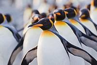 South Atlantic Ocean, United Kingdom, British Overseas Territories, South Georgia, Whistle Cove, Fortuna Bay, King penguins colony