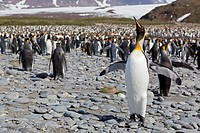 South Atlantic Ocean, United Kingdom, British Overseas Territories, South Georgia, Salisbury Plain, King penguins colony