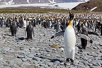 South Atlantic Ocean, United Kingdom, British Overseas Territories, South Georgia, Salisbury Plain, King penguins colony