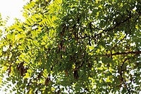 Germany, View of black poplar tree, close up