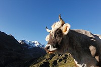 Austria, Tyrol, Oetztal Alps, Cow in kaunertal valley