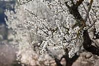 Spain, Balearic Islands, Majorca, View of blooming almond trees