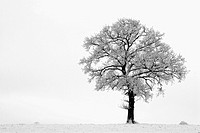 English Oak tree Quercus robur in snow , England , UK
