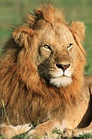 It isl late afternoon and the sleeping male lion has woken up, Masai Mara National Reserve, Kenya