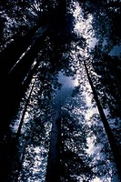 Low angle view of trees in a forest, James Irvine Trail, Redwood National Park, California, USA