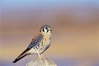 An American Kestrel perched on a wooden post, Bosque del Apache, New Mexico, USA