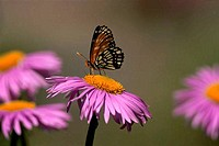A Chackerspot Butterfly on an aster plant, Oregon, USA