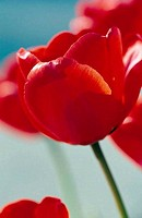 Close_up of tulips