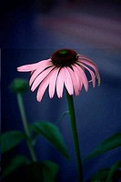 Close_up of a purple coneflower