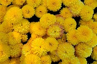 Close_up of chrysanthemums