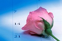 Close_up of a rose on a calendar