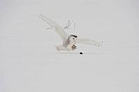 Canada, Quebec, Saint_Barthelemy, Snowy Owl Bubo scandiacus hunting