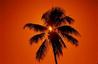 Silhouette of a palm tree during sunset