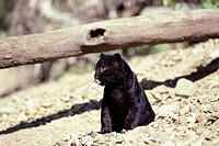 Black Leopard sitting