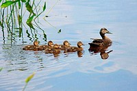 American Black Duck Anas rubripes with its ducklings in a lake