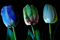 Silk tulips on dark background