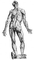 VESALIUS: MUSCLES, 1543.The second figure of the muscles. Woodcut from the 'Epitome' of Andreas Vesalius' 'De Humani Corporis Fabrica,' published in 1...