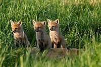 Three red fox kits focus on what's happening off to the side, Pennsylvania, USA
