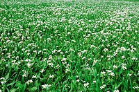 Beautiful field of grass with flowers for a soft green spring or summer background.