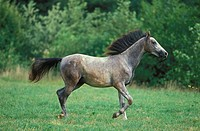 SHAGYA HORSE, STALLION TROTTING IN PASTURE