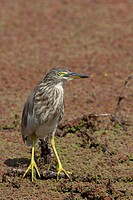 Indian Pond Heron Ardeola grayii standing in swamp, Keoladeo National Park, India