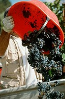 Worker pouring grapes from a bucket into a truck, Chianti Region, Tuscany, Italy