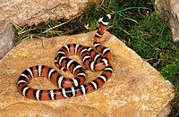 SONORAN MOUNTAIN KINGSNAKE lampropeltis pyromelana, ADULT STANDING ON ROCK