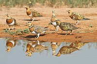 Pin-tailed Sandgrouse (Pterocles alchata) group, Aragon, Spain