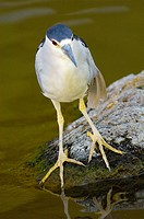 Black-crowned Night-Heron Nycticroax nycticorax