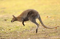 Tammar Wallaby Macropus eugenii jumping