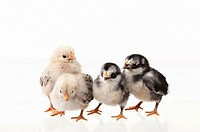 four chicks on white background