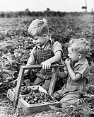 Two boys picking strawberries in a field
