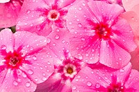 Beautiful flowers with water drops Phlox drummondi
