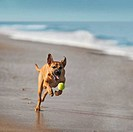 USA, Florida, Jacksonville, Jacksonville Beach, Rhodesian Ridgeback chasing ball on beach
