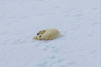 Female Polar bear Ursus maritimus resting with its cub in snow, Spitsbergen, Svalbard Islands, Norway