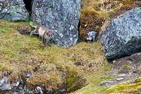 Arctic fox pup Alopex lagopus standing on a rock, Alkehornet, Spitsbergen, Svalbard Islands, Norway