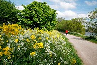 UK, London Wildflowers growing by Thames Path beside River Thames at Barn Elms