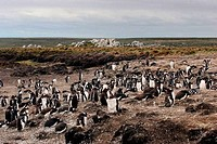 Colony of Gentoo Penguins Pygoscelis papua on an island, Falkland Islands