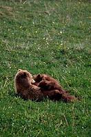 Usa, Alaska, Denali National Park, Grizzly Bear Sow Nursing Cubs
